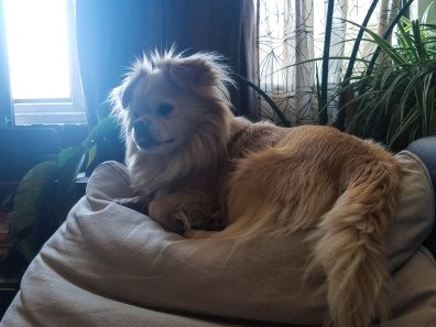 Biscuit the Tibetan Spaniel