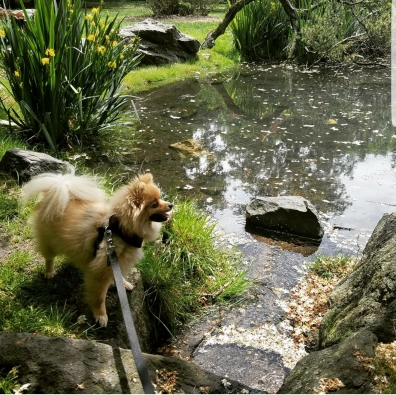 Mochi the Pomeranian